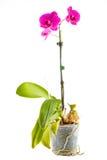 Purpurowa orchidea Garnka kwiat w przejrzystym flowerpo Fotografia Royalty Free