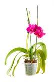 Purpurowa orchidea Garnka kwiat w przejrzystym flowerpot Zdjęcie Stock