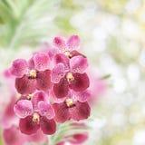 Purpurowa orchidea kwitnie na białym tle Zdjęcia Royalty Free