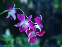 Purpurowa orchidea kwitnie w lesie obrazy stock