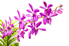 Purpurowa orchidea Na Białym tle Obraz Royalty Free