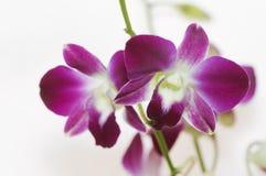 Purpurowa orchidea na jaskrawym tle Obraz Royalty Free