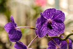 Purpurowa orchidea w domu ogródzie Zdjęcia Royalty Free