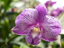 Purpurowa orchidea W garnku w ogródzie zdjęcie stock