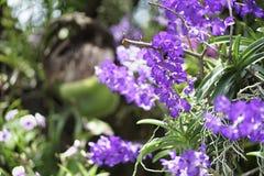 Purpurowa orchidea W ogródzie Fotografia Royalty Free