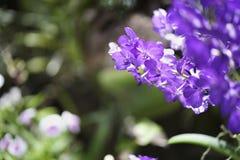 Purpurowa orchidea W ogródzie Obraz Royalty Free