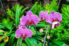 Purpurowa orchidea w zieleń ogródzie Fotografia Stock