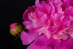 Purpurowa peonia na czerni Obrazy Royalty Free