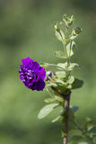 Purpurowa petunia  Zdjęcia Royalty Free