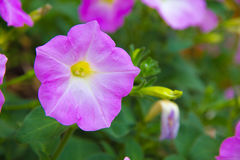 Purpurowa petunia Obraz Royalty Free