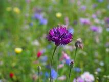 Purpurowa piękna makro- kwiat fotografii tła łąka zdjęcie stock