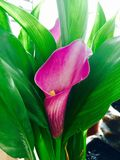 Purpurowa różowej kalii leluja Zdjęcia Stock