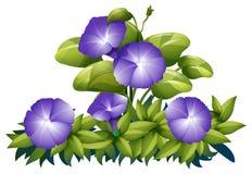 Purpurowa ranek chwała w krzaku ilustracji