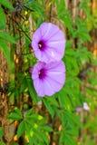 Purpurowa ranek chwały bluszcza roślina obrazy stock