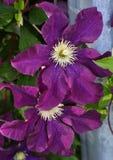 Purpurowa ranek chwała Obrazy Royalty Free
