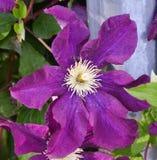 Purpurowa ranek chwała Zdjęcie Stock