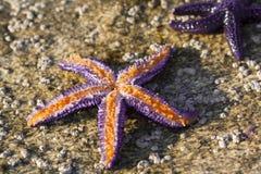 purpurowa rozgwiazda Obrazy Royalty Free