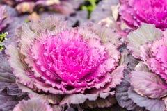 Purpurowa sałaty roślina fotografia stock