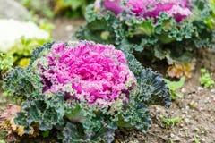 Purpurowa sałaty roślina obrazy stock