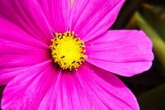 Purpurowa stokrotka, Gerbera - Makro- strzał Zdjęcie Stock