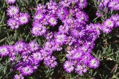 Purpurowa stokrotka i wodne kropelki Grupa purpurowe stokrotki Obraz Royalty Free
