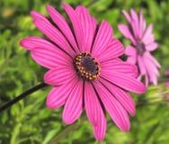 Purpurowa stokrotka, kwiat, Colourful kwiat zdjęcie stock