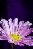Purpurowa stokrotka z Wodnymi kroplami Zdjęcie Royalty Free