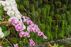 Purpurowa storczykowa kwiat grupa w szklarnia ogródzie, Tajlandia Obrazy Stock