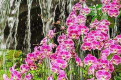 Purpurowa storczykowa kwiat grupa w szklarnia ogródzie, Tajlandia Obrazy Royalty Free