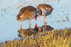Purpurowa Swamphen interakcja Zdjęcie Royalty Free