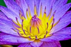 Purpurowa wodna leluja Obrazy Royalty Free