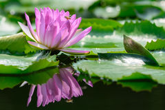 Purpurowa wodna leluja (lotosy) Zdjęcia Royalty Free