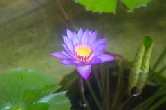 Purpurowa wodna leluja w stawie zdjęcie royalty free