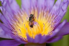 Purpurowa wodna leluja z pszczołą w pollen, selekcyjna ostrość Fotografia Stock