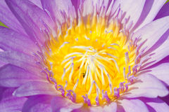 Purpurowa Wodna leluja Z pszczołami Inside. Obraz Royalty Free