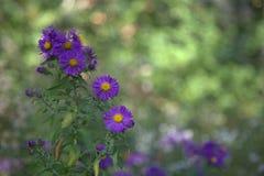 purpurowe żółte kwiaty zdjęcie stock