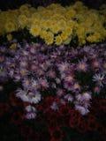 purpurowe żółte kwiaty obrazy royalty free