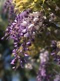 purpurowe żałość Fotografia Royalty Free