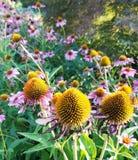 Purpurowe Coneflower stokrotki w polu różowe stokrotki Zdjęcia Stock