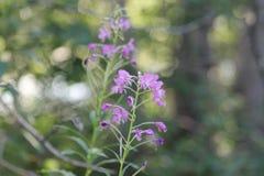 Purpurowe dzikiego kwiatu Skaliste góry Fotografia Royalty Free