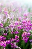 Purpurowe dzwonkowe Erica wrzosu rośliny zdjęcie royalty free