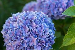 Purpurowe hortensje, Włochy Zdjęcia Royalty Free