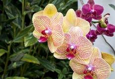 Purpurowe i Żółte orchidee Obraz Royalty Free