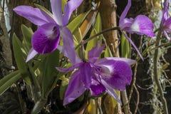 Purpurowe i białe orchidee obrazy stock