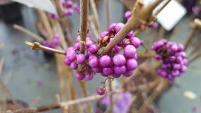 purpurowe jagód Zdjęcie Royalty Free