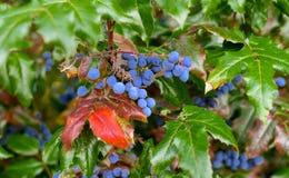 Purpurowe jagody w zielonych papierach i drzewie Zdjęcie Stock
