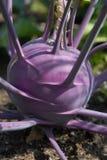 purpurowe kapuściane kalarepy Zdjęcie Stock
