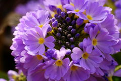 purpurowe krokusy Zdjęcia Stock