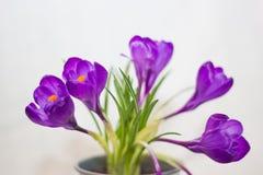 purpurowe krokusy Zdjęcia Royalty Free