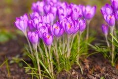 purpurowe krokusy Obrazy Royalty Free